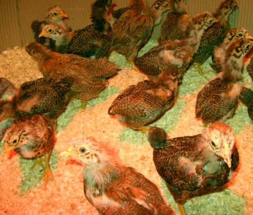 chicks33days